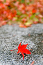 Color Change Maples In Autumn Royalty Free Stock Photo - 31795155