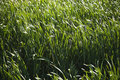 Cattails And Grasses. Stock Photography - 3188022