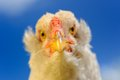 Chicken Close-Up Against Blue Sky Royalty Free Stock Photos - 31806798