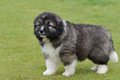 Little Puppy Of Caucasian Shepherd Royalty Free Stock Image - 31808226
