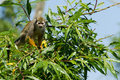 Common Squirrel Monkey In A Tree Stock Images - 31809854
