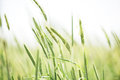 Young Flowering Spikes Of Barley Close-up Stock Photography - 31813942