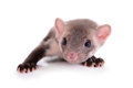 Small Animal Rodent Stock Images - 31815214