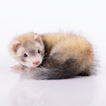 Small Animal Rodent Stock Image - 31815271