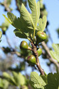 Fig Tree Royalty Free Stock Image - 31821386