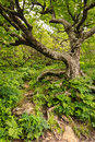 Spooky Tree Gnarled Roots Murky Forest NC Stock Photo - 31832570