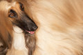Afghan Hound Looking Away Stock Photos - 31840413