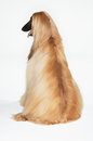 Rear View Of Afghan Hound Sitting Stock Image - 31840441