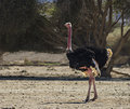 Male Of African Ostrich Royalty Free Stock Image - 31852306
