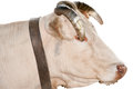 Portrait Of An Ox Stock Photography - 31854052