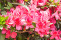 Red Rhododendrons Flower Stock Images - 31856944