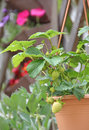 Strawberry Plant And Flowers Stock Images - 31860384