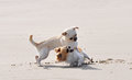 Fighting Chihuahuas On The Beach Royalty Free Stock Images - 31862039