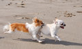 Fighting Chihuahuas On The Beach Stock Photos - 31862043