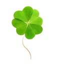 Four-leaf Green Clover. Royalty Free Stock Image - 31868976