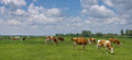 Cows On Pasture Royalty Free Stock Photos - 31889988