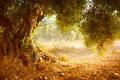 Old Olive Tree Stock Photos - 31892933