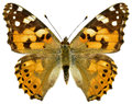 Isolated Painted Lady Butterfly Stock Images - 31896184