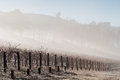 Fog In The Vines In The Yarra Valley Royalty Free Stock Photography - 31897317