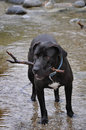 Ablack Lab Fetches A Stick In A River Stock Photography - 31907452