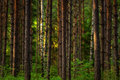 Sunset In The Woods Stock Image - 31924061