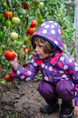 Little Girl Picking Tomatoes Stock Photography - 31950412