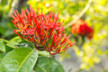 Blooming Of Red Ixora Stock Photography - 31959222