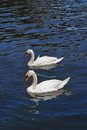The Swans In The River Stock Image - 31966341