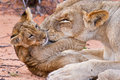 Lion Cub Play With Mother On Sand Royalty Free Stock Photography - 31992367