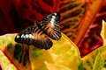 Colorful Croton And Butterfly Stock Images - 31996844