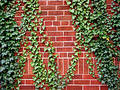 Ivy On The Brick Wall Royalty Free Stock Photography - 320727