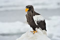 Steller S Sea Eagle Royalty Free Stock Image - 32004956