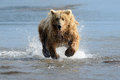 Grizzly Bear Royalty Free Stock Photography - 32005247