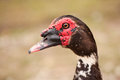 Muscovy Duck Close-up Portrait. Macro. Royalty Free Stock Photos - 32005328
