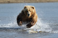 Grizzly Bear Royalty Free Stock Image - 32005336