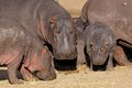 Hippo Family Stock Photo - 32006710