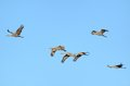Sandhill Cranes Flying Stock Photography - 32019602