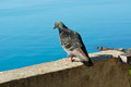 Proud Pigeon Royalty Free Stock Image - 32040986