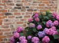 Purple Hydrangeas Bloomed With Flowers With An Old Red Brick Wal Royalty Free Stock Images - 32043039