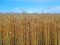 Mature Wheat Field And Blue Sky Stock Image - 32043061