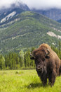 American Bison Or Buffalo Royalty Free Stock Photo - 32051305