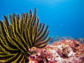 Feather Star Royalty Free Stock Image - 32054166
