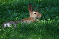 Eastern Cottontail Lying In Clover Patch In Sunbeam Stock Photos - 32056593