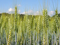 Green Unripe Wheat Ears. Royalty Free Stock Photography - 32057727