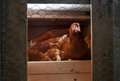 Chickens In The Coop Royalty Free Stock Photography - 32073167