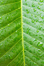 Frangipani Leaf Royalty Free Stock Photo - 32078935