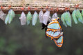 Rows Of Butterfly Cocoons Stock Images - 32096514