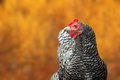 Big Hen Portrait In Autumn Setting Stock Images - 32099924