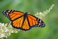 Male Monarch Butterfly Feeding On White Flowers Stock Photo - 32112400