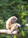 White-handed Gibbon Stock Photography - 32113442
